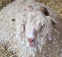 Laughing Sheep by DSHill