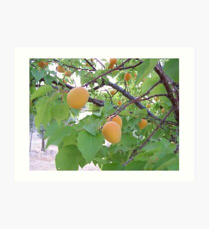 fresh apricots Art Print