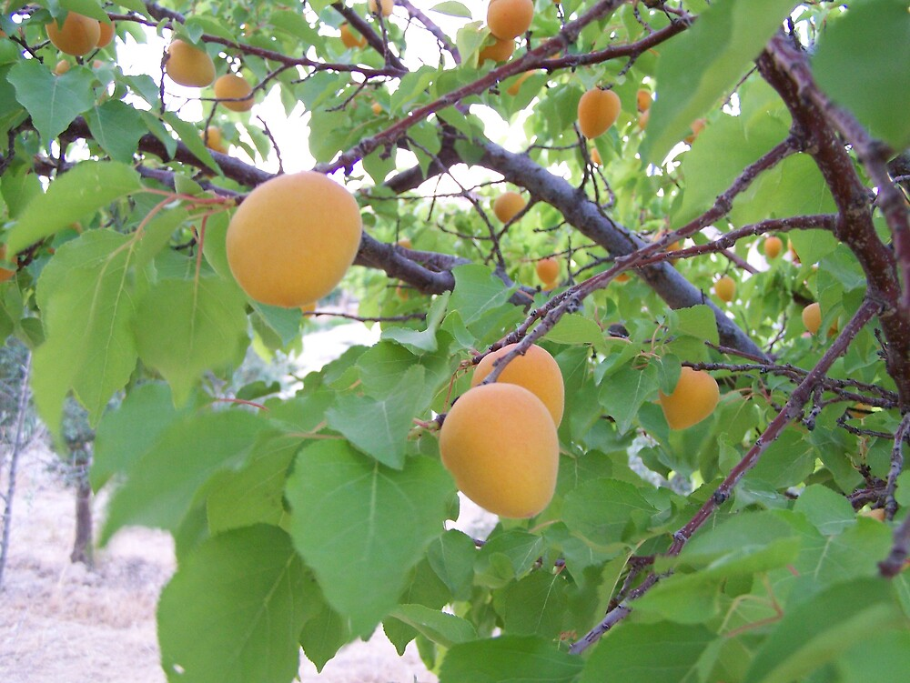 fresh apricots by vendetta