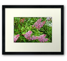 Lilac Bush Framed Print