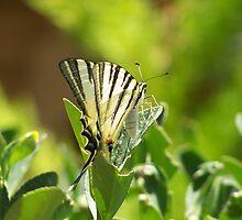 Lebanese Butterfly by vendetta