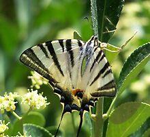 Lebanese Butterfly 2 by vendetta