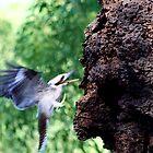 Kookaburra feeding on termites by twinpete