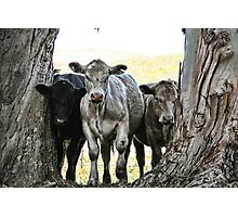 The Three Cows Photographic Print