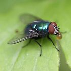 greenbottle by Philip Young