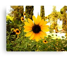 Sunflowers! Canvas Print