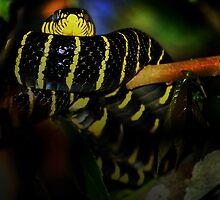 Banded Mangrove Snake by JimFilmer