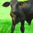 Baby Moo by Penny Smith