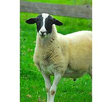 Mrs Black Faced Sheep :) Photographic Print