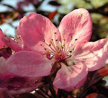 Ornamental Cherry by ralphdot