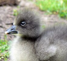 A Lesser Snow Goose Gosling by AARDVARK