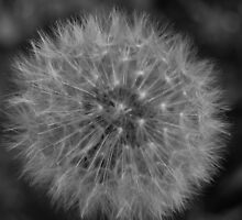 A second generation Dandelion by Mike Davitt
