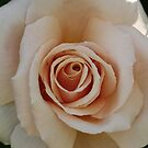 pearly rose by picketty