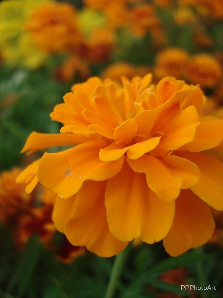 marigolds by PPPhotoArt