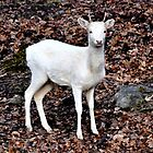 Spirit Deer - Omega Park by Poete100