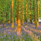 Bluebell sunrise 2 by Mark Thompson