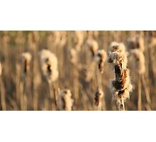 Sea of Cat Tails Photographic Print