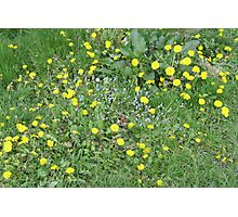 Dandy lions in the grass Photographic Print