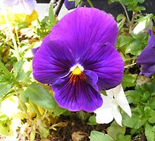Pretty little Pansy by photofun75