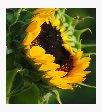 Open for Bees-ness Photographic Print