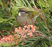 Lewin's Honeyeater by Jade Welch