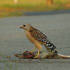 RED-SHOULDERED HAWK WITH PREY by H & B Wildlife  Nature Photography