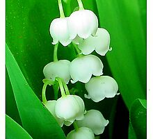 Lily of the Valley by pbischop