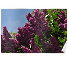 Lilac on the Medow Poster