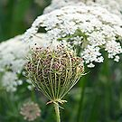 Cow Parsley by Glenna Walker