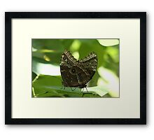 2  Common Blue Morpho Butterflies Framed Print