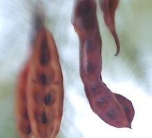 Wattle Seed Pods by wrenswood