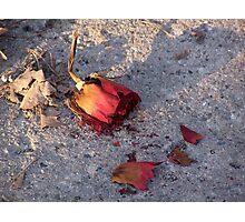 Dead Rose Photographic Print