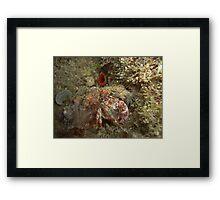 Decorator Crab (super shy) Framed Print