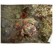 Decorator Crab (super shy) Poster