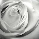 Fresh Rose by RockyWalley