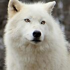 Arctic Wolf Close Up by vette