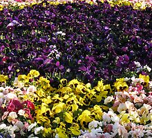 Pansy Bed by pwall