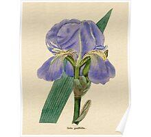 Iris pallida or Pale Iris Poster