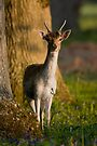 Fallow Pricket by Neil Bygrave (NATURELENS)