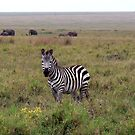 Burchells Zebra by AngelaFoster