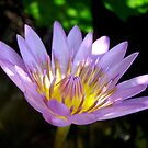 Lotus Flower by nicholaspr