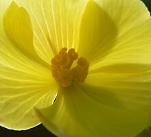 Bright Yellow Begonia by LynnMarie