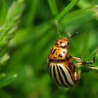 Potato Beetle by Jamie  Fox