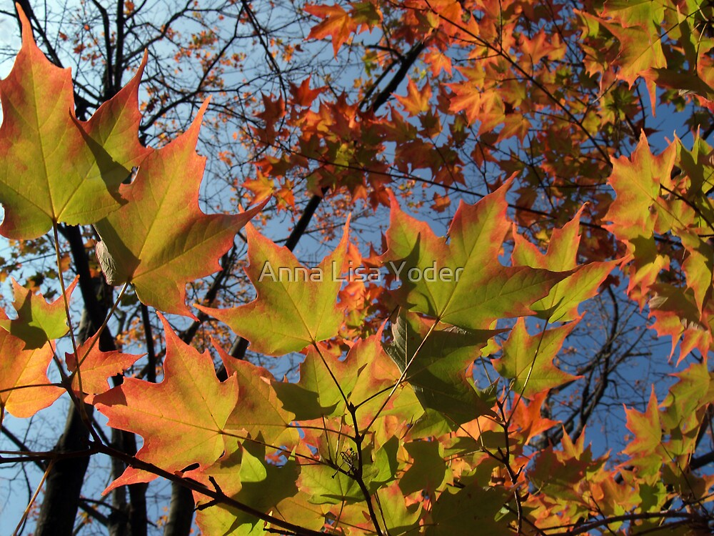 Autumn Sugar Maple Leaves in Full Glory by Anna Lisa Yoder