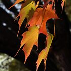 Sugar Maple Leaves, Back-lit by Anna Lisa Yoder