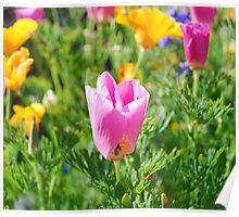 the pink and yellow poppies Poster