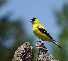 American Goldfinch by Gregg Williams