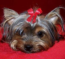 Tiny Yorkie by Sarah Jackson