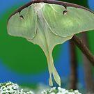 Luna Moth by Kimberly Palmer