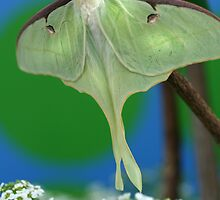 Luna Moth by Kimberly Palmer